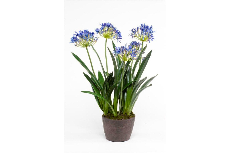 Agapanthus Blue | 75cm