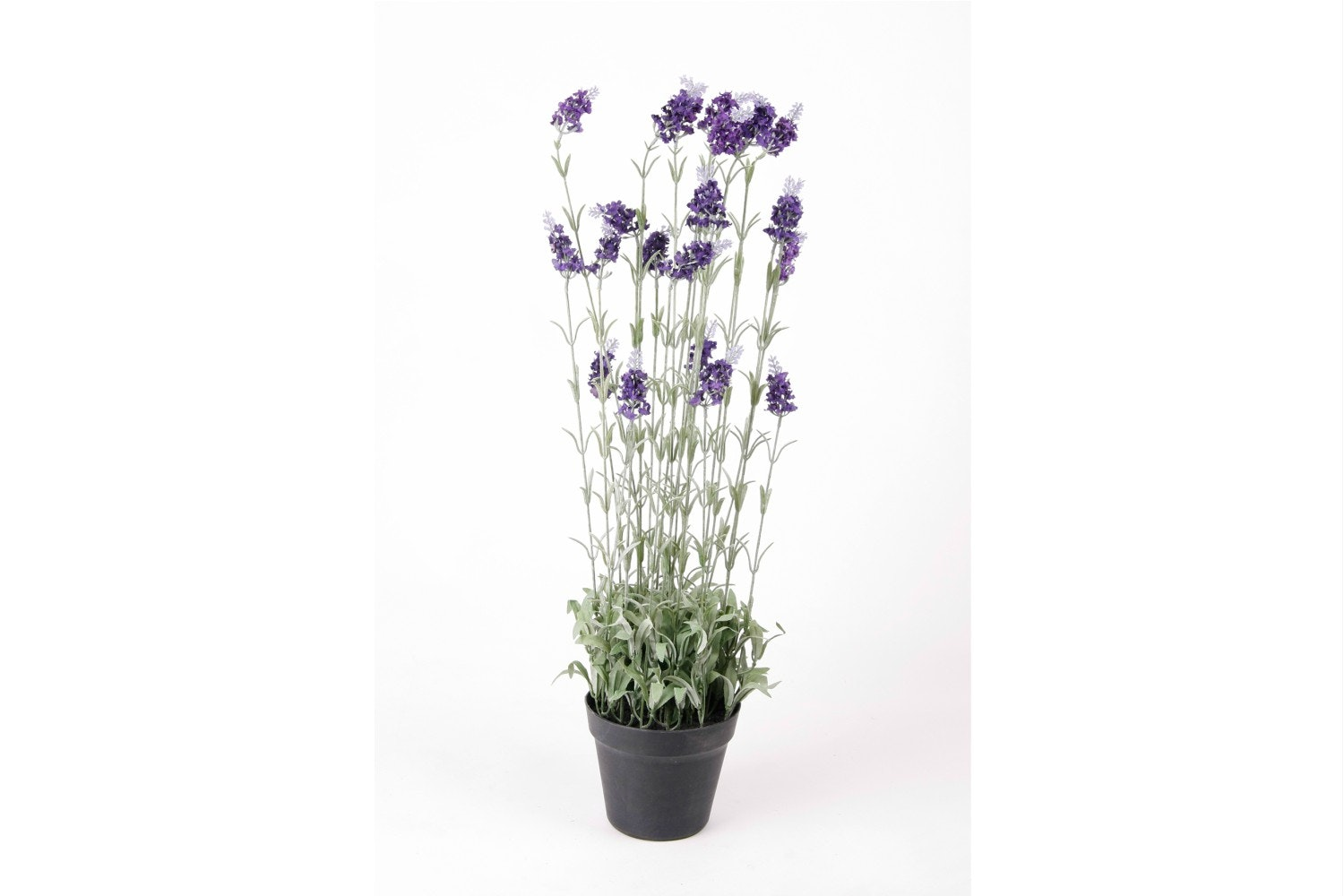 Lavender Bush In Plastic Pot | 80cm