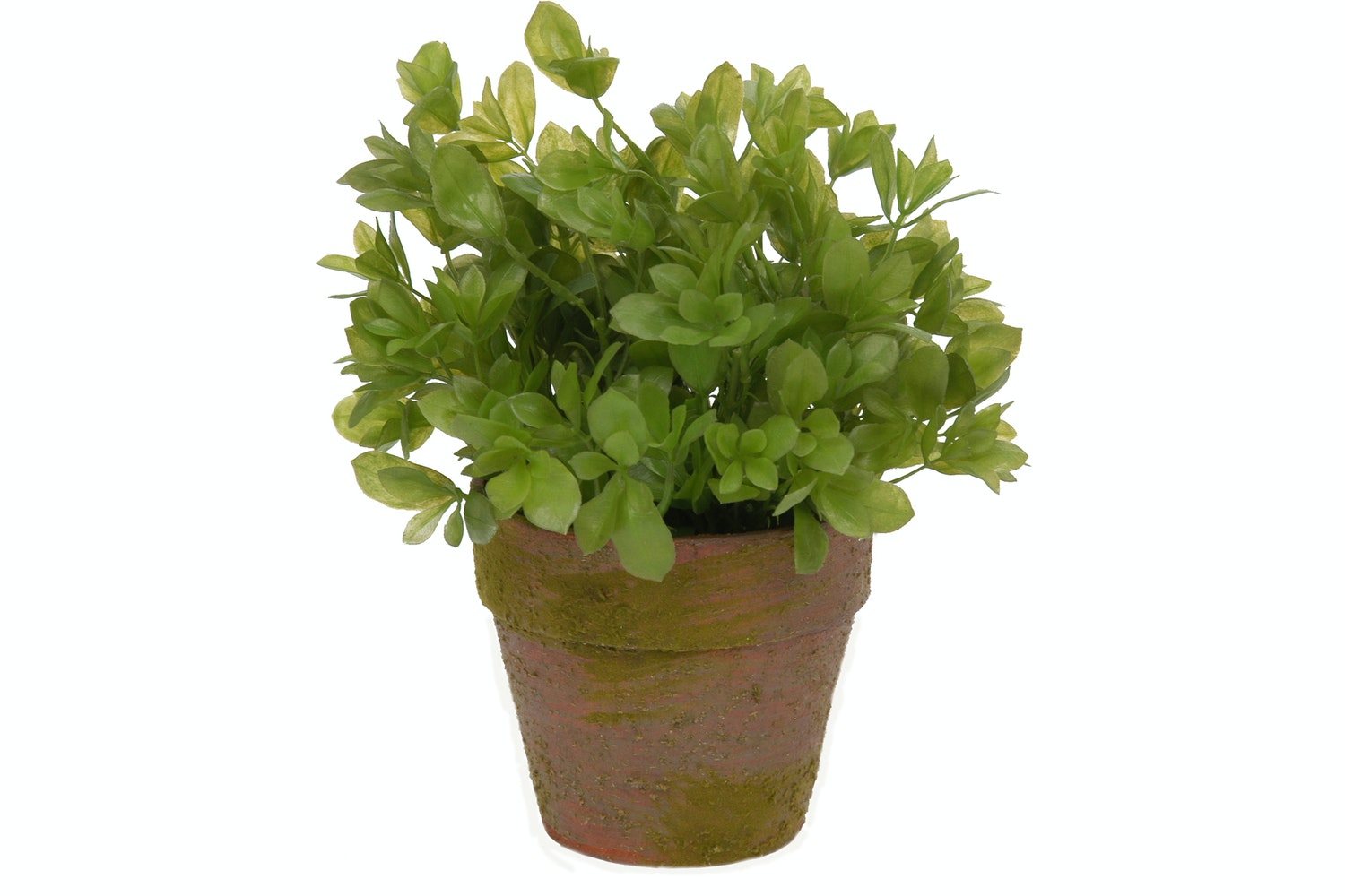 Buxus Potted Plant