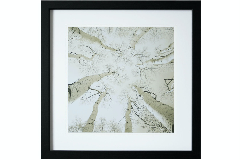 Silver Birch Print