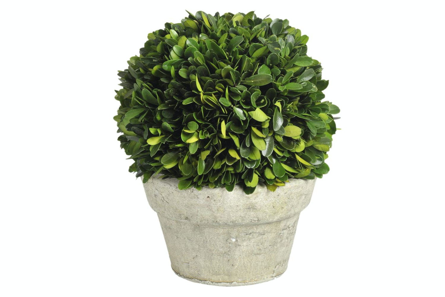 Buxus Green Ball Plant Pot | Medium