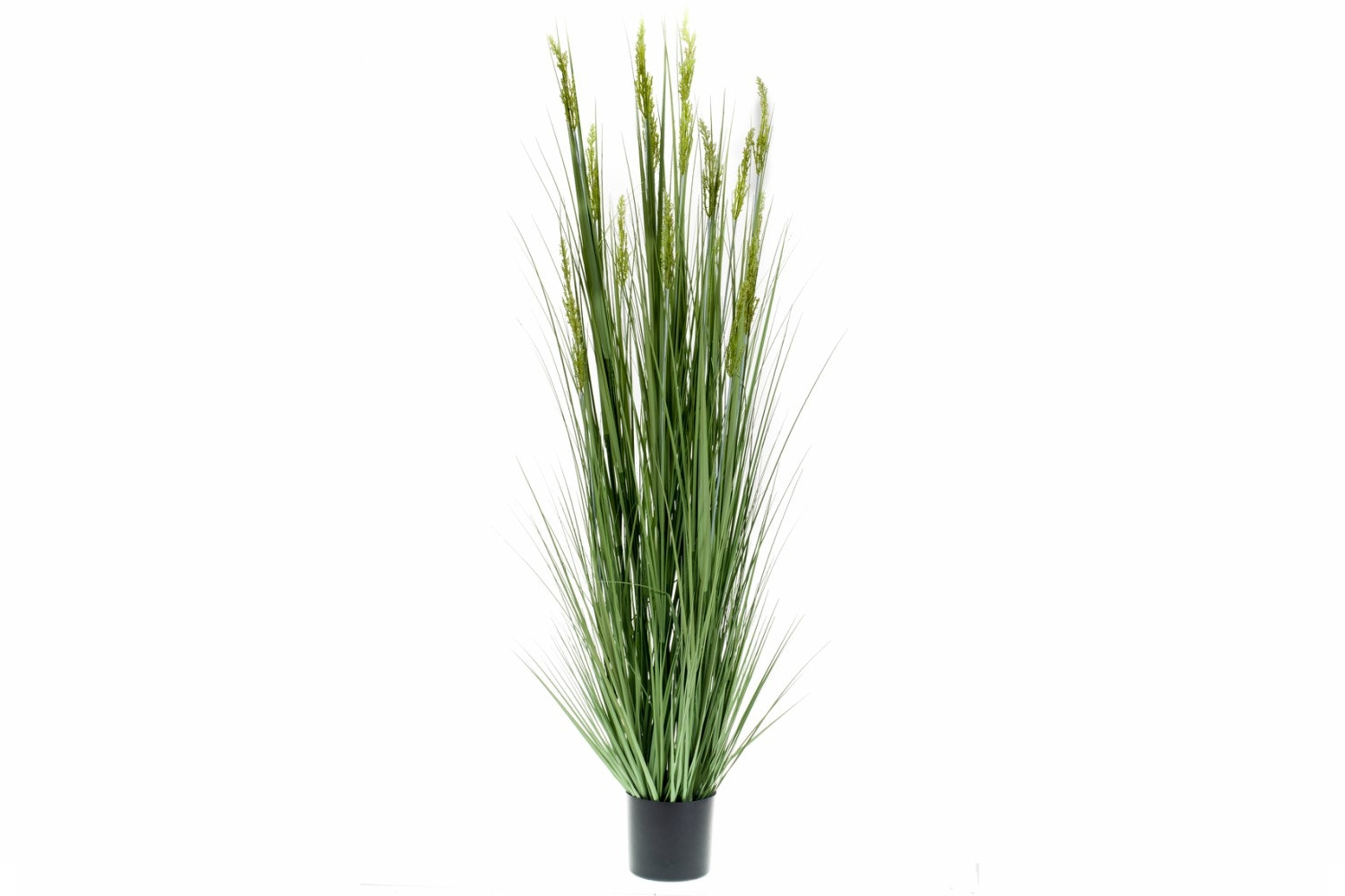 Grain Grass In Plastic Pot | 185cm