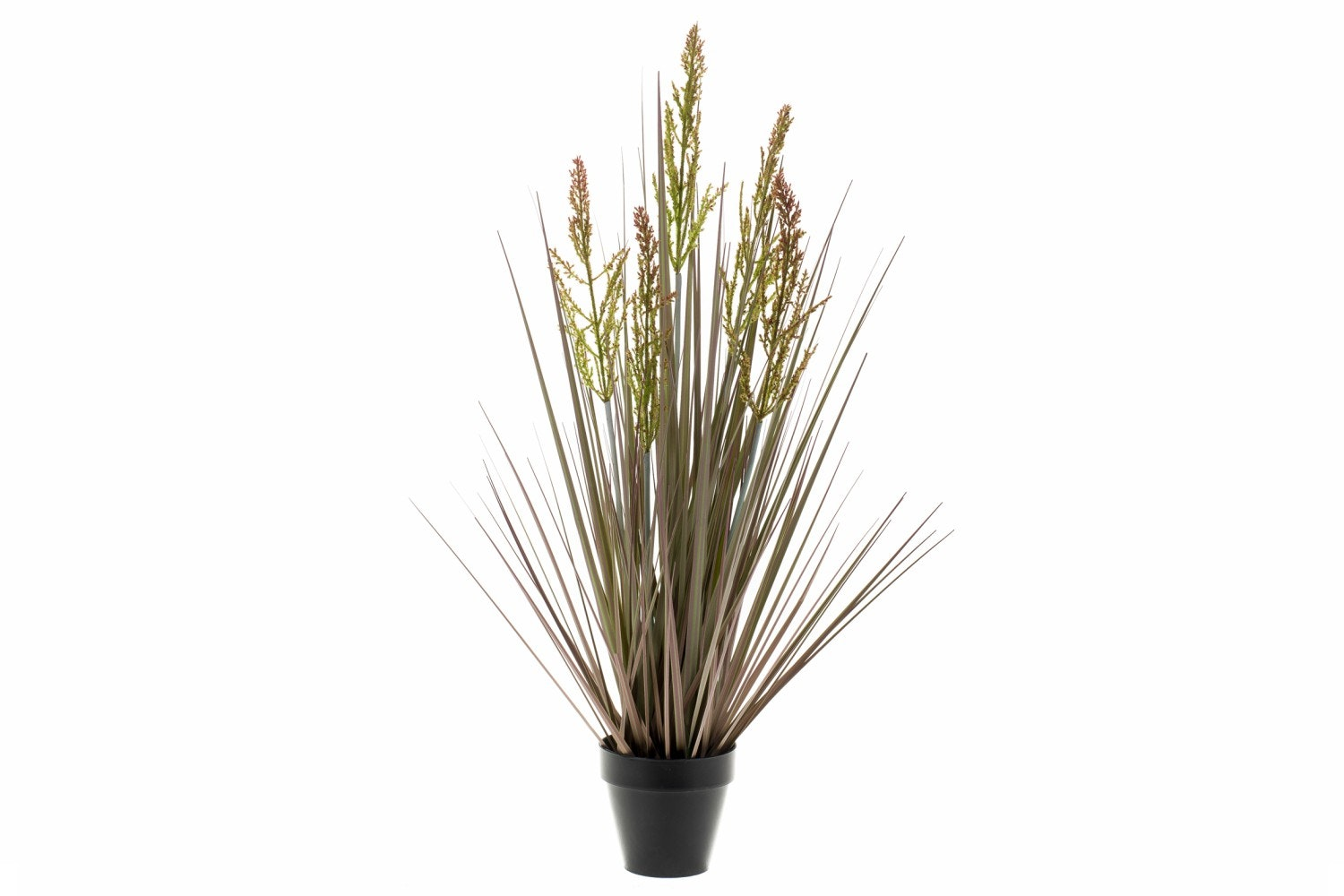 Grass Rumex In Plastic Pot | 90cm