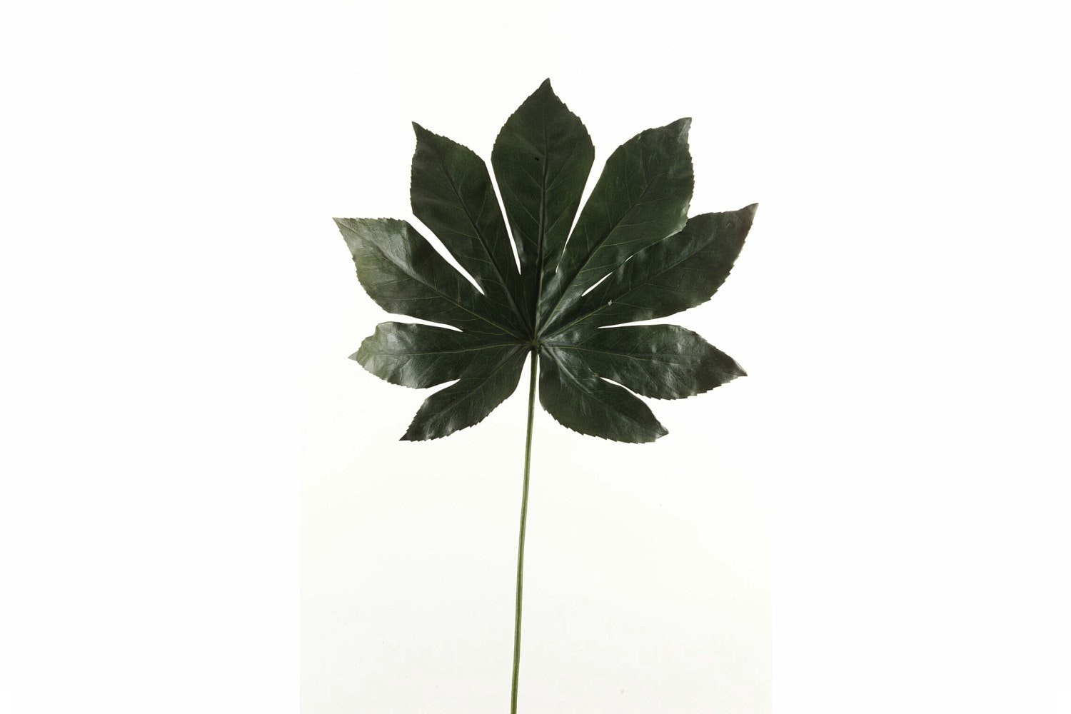 Fatsia Leaf | Dark Green