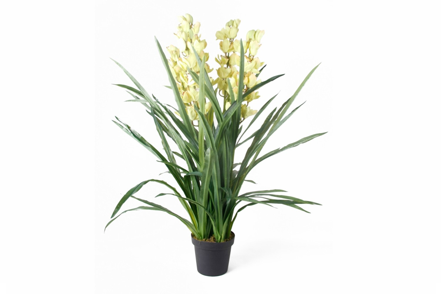 Cymbidium Green In Pot