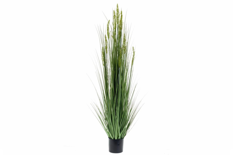 Grain Grass In Plastic Pot | 150cm