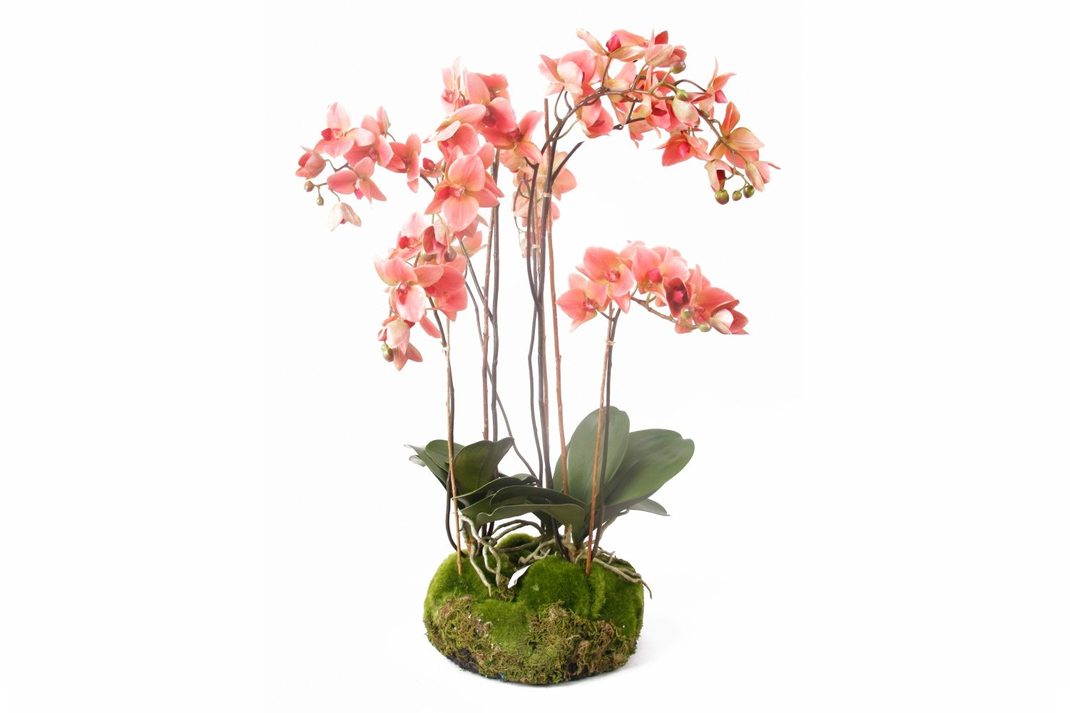 Old Pink Phalaenopsis Soiled With Moss