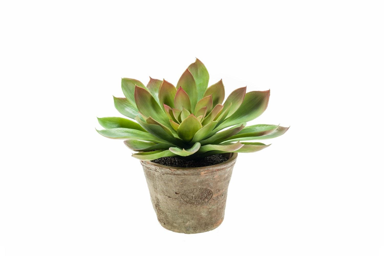 Echeveria Mira Bush In Terracotta Pot