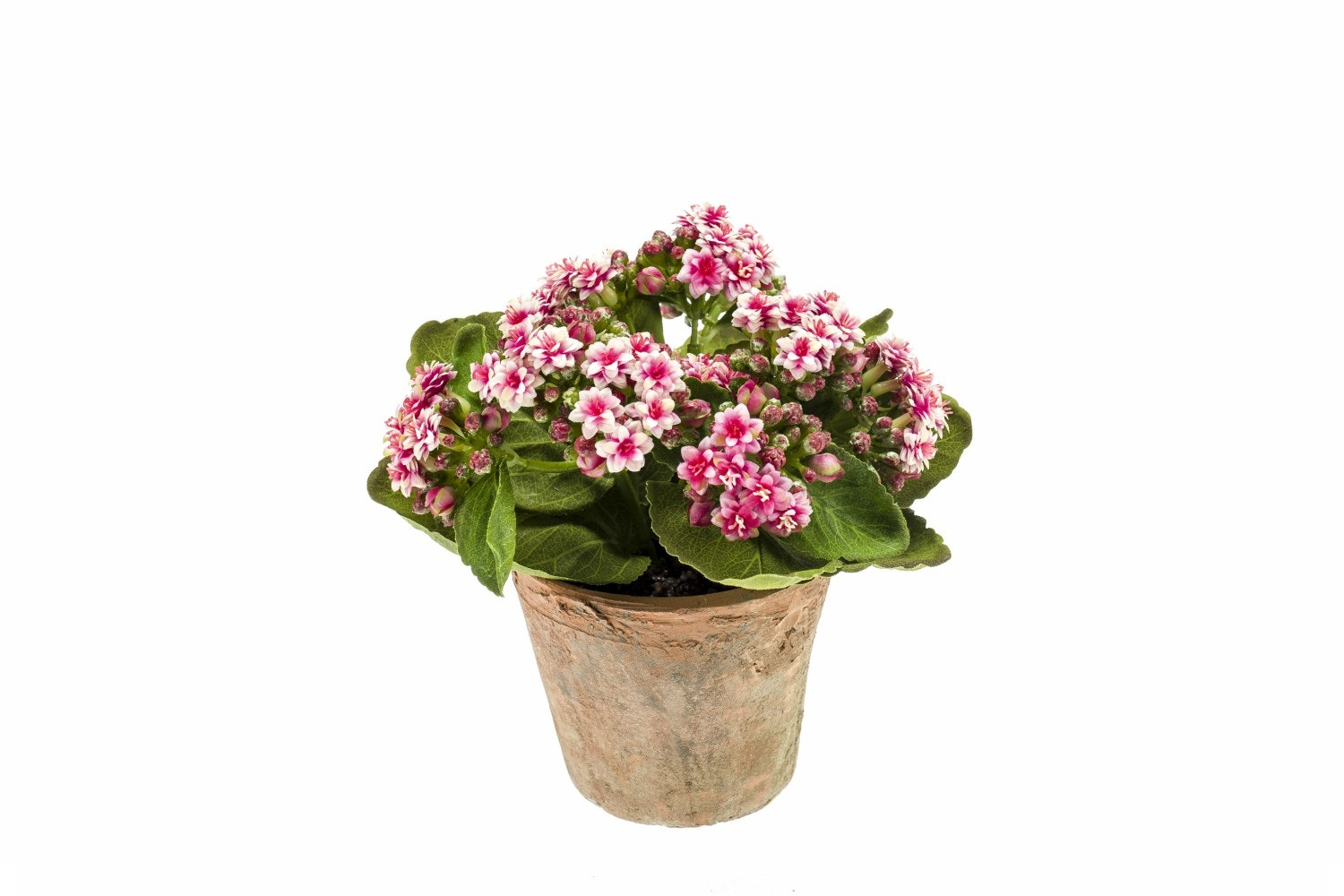 Pink Kalanchoe Bush In Terracotta Pot