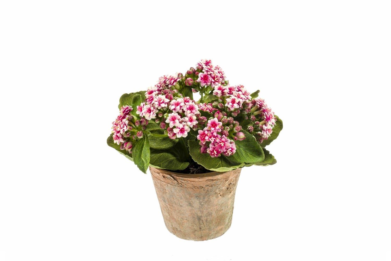 Pink Kalanchoe Bush In Terracotta Pot