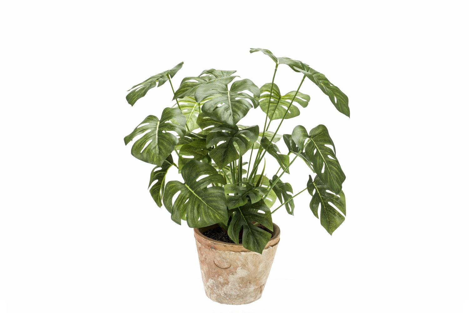 Monstera Bush In Terracotta Aged Pot