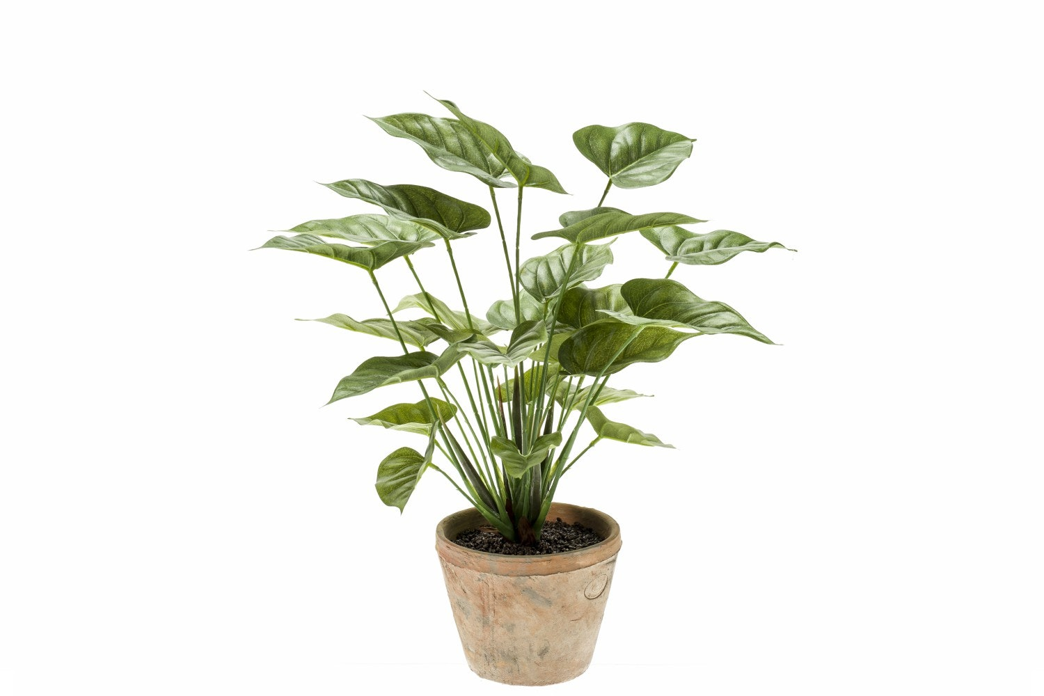 Anthurium Bush In Terracotta Pot