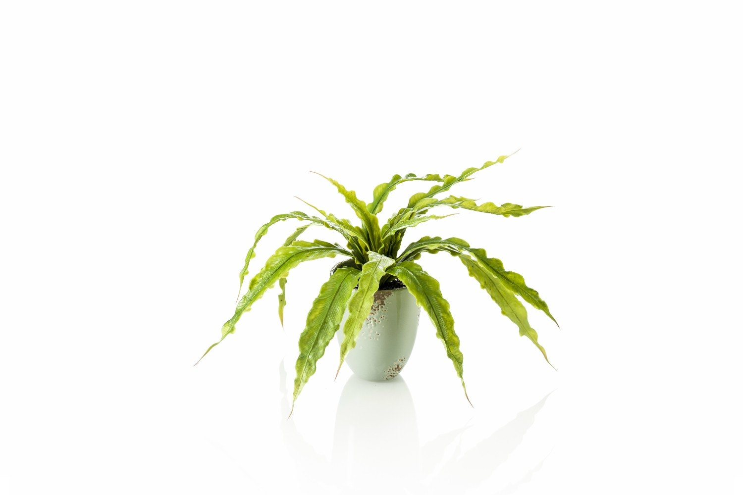 Fern Asplenium Bush In Pot